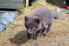 Arctic fox pup Stock Photo
