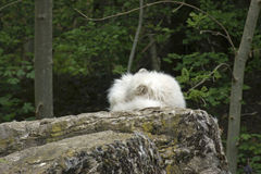Arctic Fox resting on rock formation Stock Image