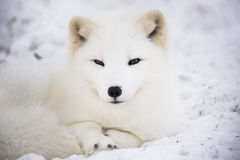 Arctic fox resting in the snow Stock Images