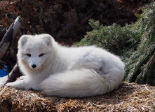Arctic Fox. Resting on spruce boughs at Edmonton Valley Zoo Stock Photography