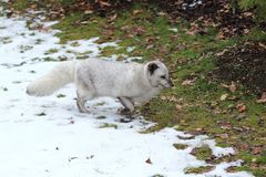 Arctic fox. Running in the grass covered by snow Stock Photo