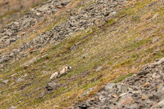 Arctic fox running with a little auk in its mouth, Svalbard Royalty Free Stock Images