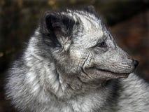 Arctic fox`s head 1 Royalty Free Stock Photo
