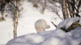 The Arctic Fox. Of Scandinavia stock footage
