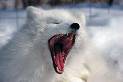 Arctic fox screaming Stock Image