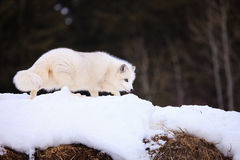 Arctic fox searching for prey during winter Stock Photography