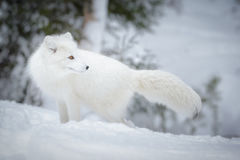 Arctic fox. An arctic fox showing how effective his white winter coat can be Stock Image