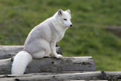Arctic fox (Vulpes lagopus) sitting on a log in autumn in Canada royalty free stock image