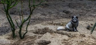 Arctic fox sitting in the sand, animal from the northern hemisphere. A arctic fox sitting in the sand, animal from the northern hemisphere royalty free stock image