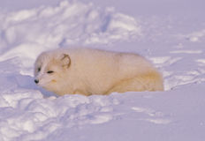 Arctic Fox in Snow Royalty Free Stock Photography