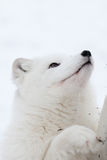Arctic Fox in the snow Royalty Free Stock Photos