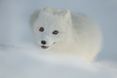 Arctic Fox in Snow Royalty Free Stock Photos