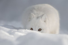 An Arctic Fox in Snow looking at the camera. stock images