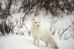 Arctic Fox. An arctic fox in the snow near Churchill, Manitoba Royalty Free Stock Images
