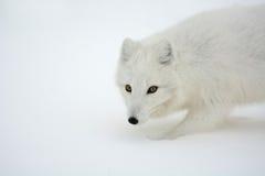 Arctic Fox Stock Photography