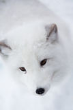 Arctic fox in the snow in Norway Stock Photography