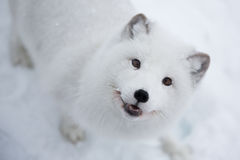 Arctic fox in the snow in Norway Royalty Free Stock Images