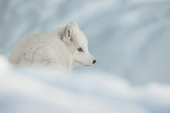 An Arctic Fox in Snow. Stock Photos