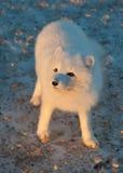Arctic fox in the snow Stock Photos