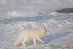 Arctic fox in the snow Stock Photo