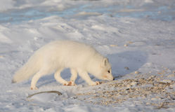 Arctic fox in the snow Stock Images