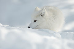 Arctic Fox in Snow Stock Photography