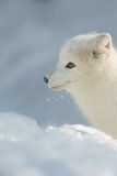 Arctic Fox in Snow Stock Photos