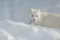 Arctic Fox in Snow Stock Photos