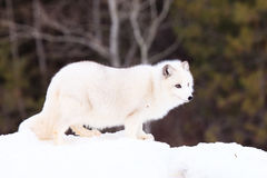 Arctic fox standing broadside Royalty Free Stock Photo