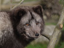 Arctic fox Royalty Free Stock Images