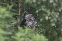 Arctic fox with summer and winter coat, portrait or with grass background Stock Image