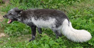 The arctic fox Stock Photo