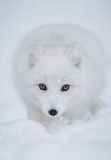 Arctic fox. The superb arctic fox shows his wonderful winter coat in northern Norway Royalty Free Stock Photos