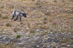 Arctic fox in Svalbard Spitzbergen. Island Stock Photo