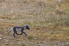 Arctic fox in Svalbard Spitzbergen Stock Images