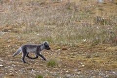 Arctic fox in Svalbard Spitzbergen. Island Stock Images