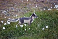 Arctic fox in Svalbard, summer stock photography