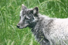 Arctic fox (Vulpes lagopus). Partial view of a polar fox in summer coat stock photo