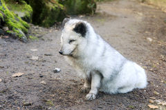 The Arctic fox Stock Photography