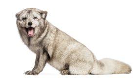Arctic fox, Vulpes lagopus royalty free stock photos