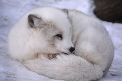 Arctic fox. Vulpes lagopus, also known as the white, polar or snow fox, is a small fox native to the Arctic regions of the Northern Hemisphere and common Royalty Free Stock Image
