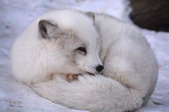 Arctic fox Royalty Free Stock Image