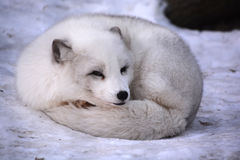 Arctic fox. Vulpes lagopus, also known as the white, polar or snow fox, is a small fox native to the Arctic regions of the Northern Hemisphere and common Stock Photo