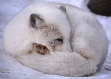 Arctic fox. Vulpes lagopus, also known as the white, polar or snow fox, is a small fox native to the Arctic regions of the Northern Hemisphere and common Stock Image
