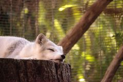 Arctic fox Vulpes lagopus. Has brown fur in the warmer months and white fur in the winter Stock Photo