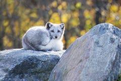 Arctic fox Stock Images