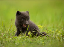 Arctic fox Vulpes lagopus cub in the meadow Royalty Free Stock Photography