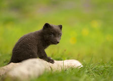 Arctic fox Vulpes lagopus cub Stock Photos