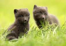 Arctic fox Vulpes lagopus cubs Royalty Free Stock Photo