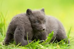 Arctic fox Vulpes lagopus cubs playing with each other Stock Photography